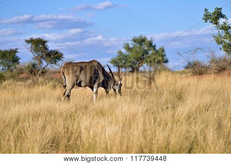 Great Kudu Male Antelope