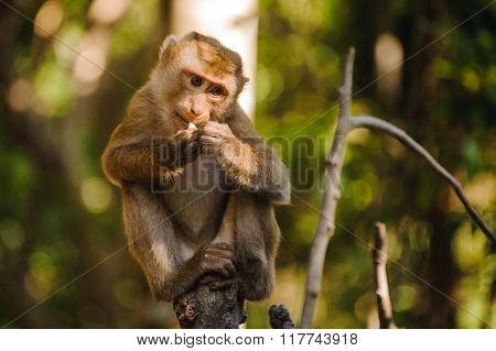 Monkey Sits  And Eats Orange