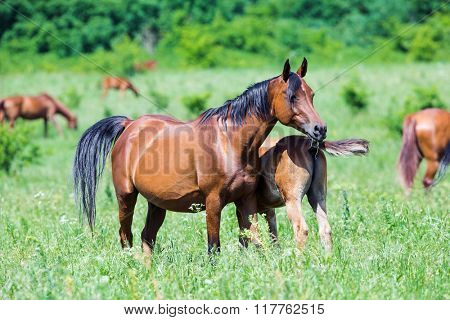 Arabian mare with foal in field in summer