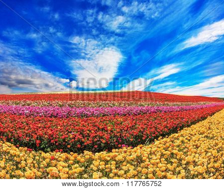 The flowers are brightly colored stripes and ready to harvest. The field of buttercups /ranunculus/ on  windy spring day