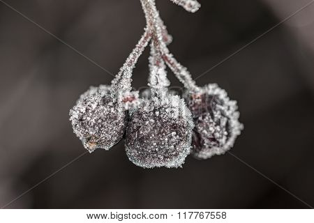 Aronia Berries In The Frost