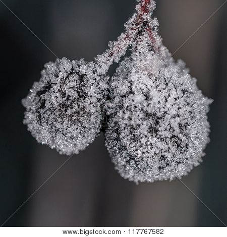 Aronia Berries Close Up