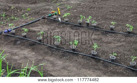 Tomato Seedlings Prepared For Planting
