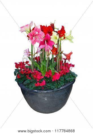 Amaryllis Flower Christmas Bouquet