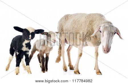 Adult Ewe And Lambs