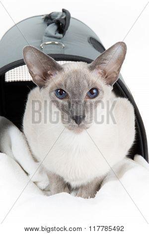 Cute Hairless Oriental Cat, Peterbald,  In A Cat Carrier