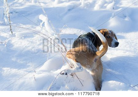 Dog is pissing on grass and watching back in winter time