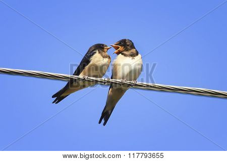 mom swallow flies past the Chicks on the wires in anticipation of food