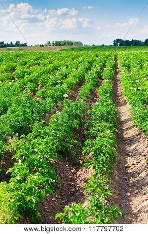 Flowering Potatoes On.