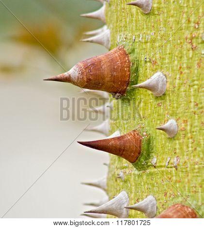 Thorny Trunk Of Silk Floss- Cebia Speciosa- Tree