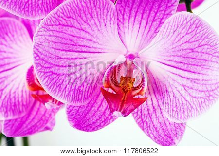 violet orchid isolated on a white background