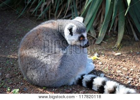 Ring-tailed Lemur. Lemur Catta.