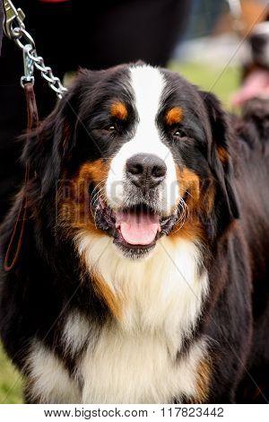 Portrait Of Happy Bernese Mountain Dog