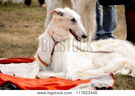 Portrait Of Beautiful Russian Wolfhound