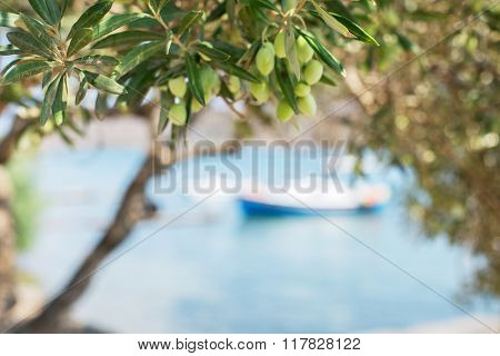 Branch of olive tree with berries on it. Closeup.