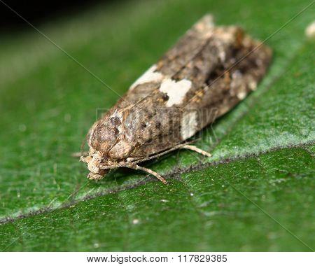 Olindia schumacherana micro moth
