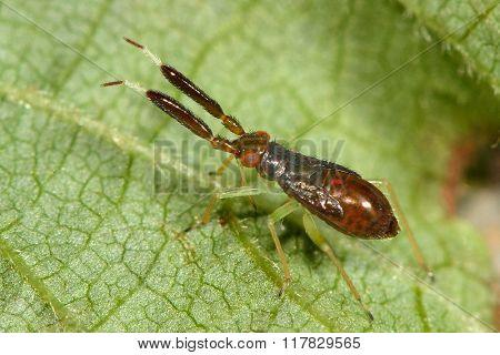 Heterotoma planicornis mirid bug nymph