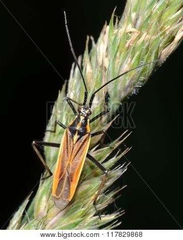 Leptopterna dolabrata mirid bug on grass