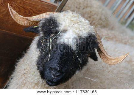 Closeup head of the Valais Blacknose Sheep (in German called Walliser Schwarznasenschaf) originating in Switzerland