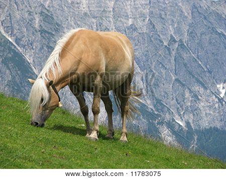 Haflinger horse eating grass