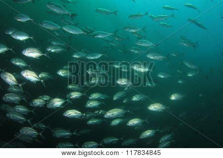 School of Bigeye Trevallies (Jack fish)
