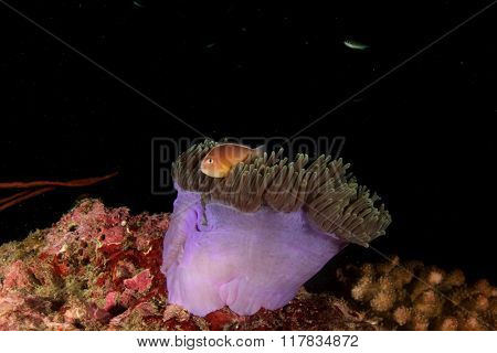 Sea Anemone and Skunk Anemonefish