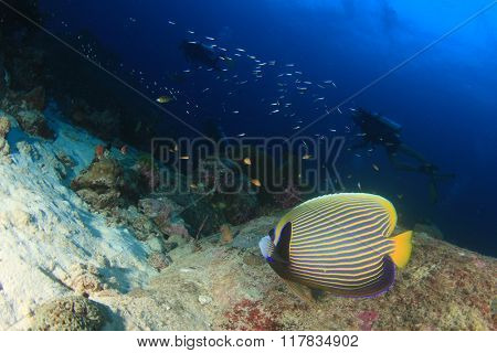Emperor Angelfish and scuba divers