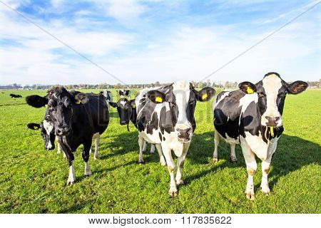 Cows in the countryside from the Netherlands