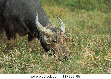 Asia Buffalo