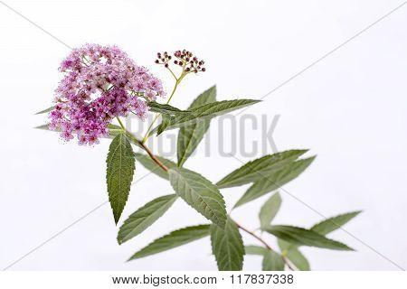 Spiraea japonica flower
