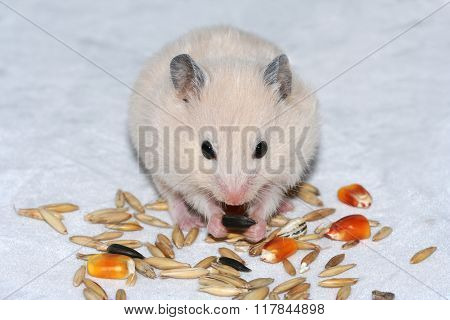 White Hamster  Eating Seed
