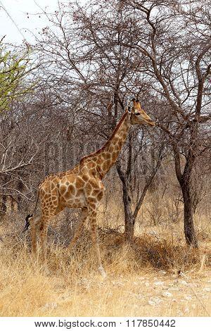 Giraffa Camelopardalis In Etosha