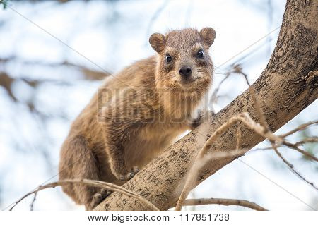Rock Hyrax In Ein Gedi National Reserve, Israel