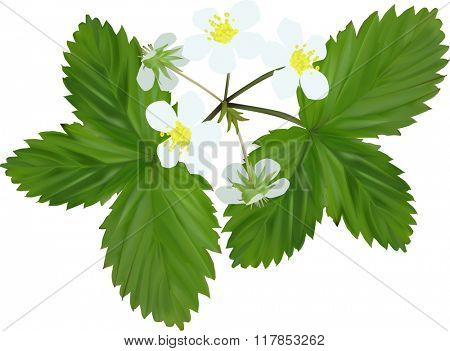 illustration with strawberry blooms and leaves isolated on white background