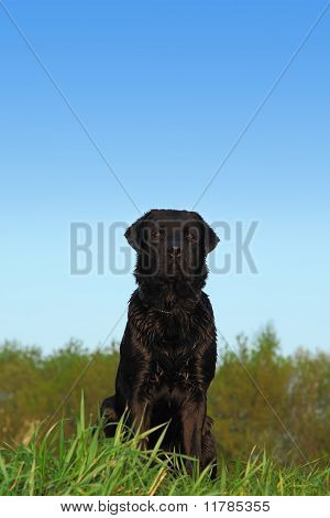Black Labrador Retriever Dog With Dark Short Hair Sits On A Meadow With Green Grass, Behind  Trees