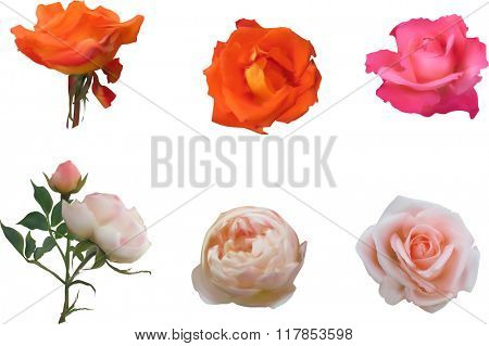 illustration with six orange and pink rose flowers isolated on white background