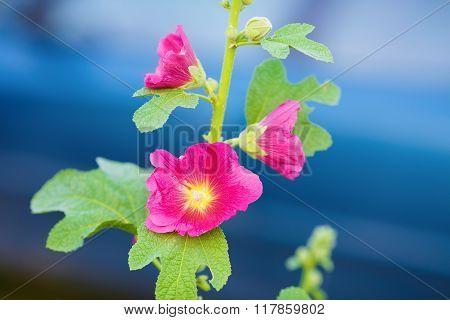Beautiful Hollyhock Flowers