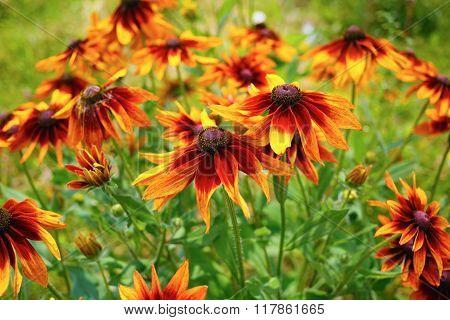 Flowers Of Echinacea