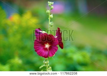 Maroon Mallow Flower