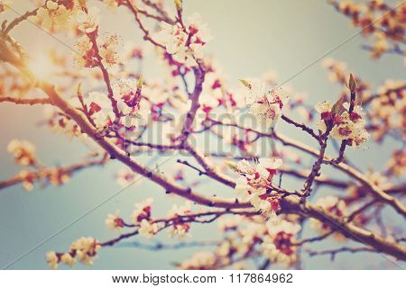 Peach tree blossom flowers in spring