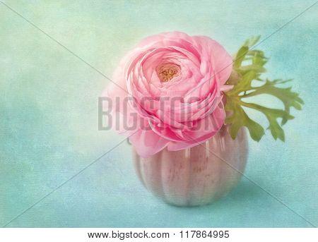 Pink ranunculus flower in a vase