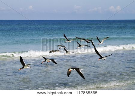 Black Skimmer Flock