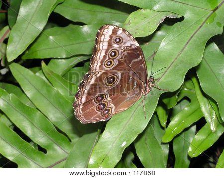 Common Blue Morpho