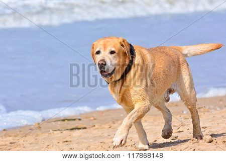 Big Brown Labrador Running On Beach