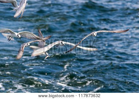 Little tern (Sternula albifrons) is flying in nature in Thailand