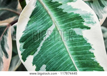 Detail Of Leaf Of Hypoestes Phyllostachya, Gardening Theme