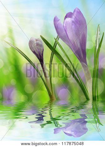 Spring flower Crocus on natural blurred background