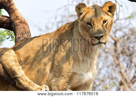 Lioness In A Tree At Kruger