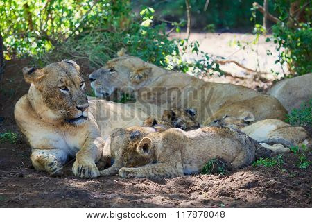 Lioness Resting With Her Cubs