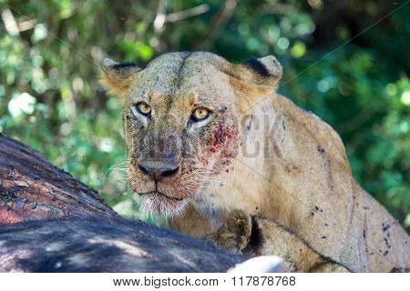 Portrait Of A Lioness At Nakuru